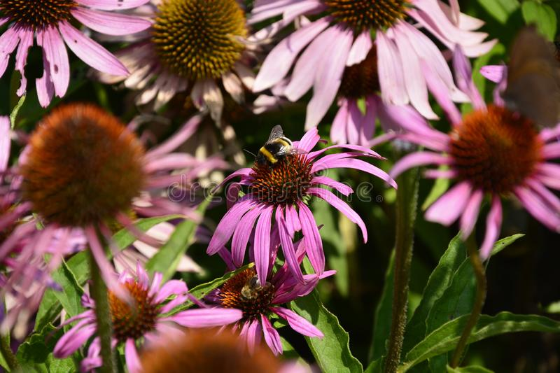 The echinacea flowers sharing the space. A bunch of echinacea flowering stems stick together and catching the sun royalty free stock photo