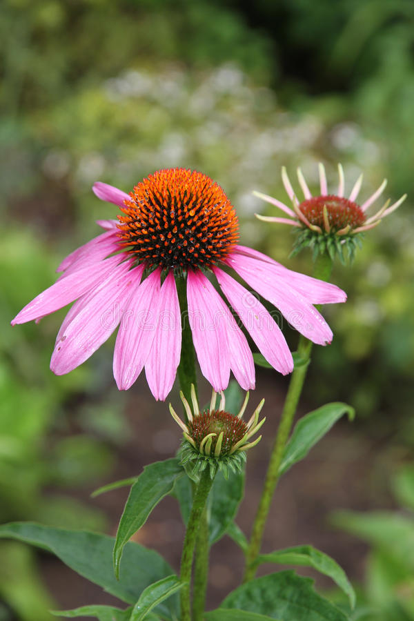 Echinacea in the garden. stock photography