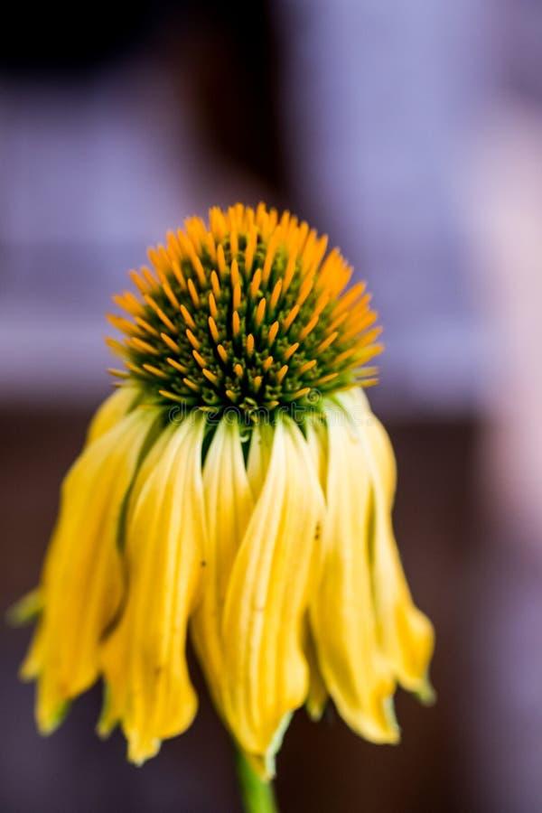 Echinacea het gele bloemen bloeien Echinacea gebruikte in alternatieve geneeskunde een immun sytem spanningsverhoger royalty-vrije stock afbeeldingen