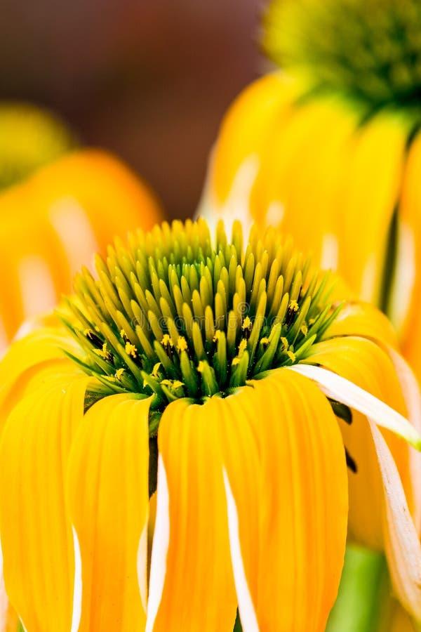 Echinacea het gele bloemen bloeien Echinacea gebruikte in alternatieve geneeskunde een immun sytem spanningsverhoger stock afbeelding