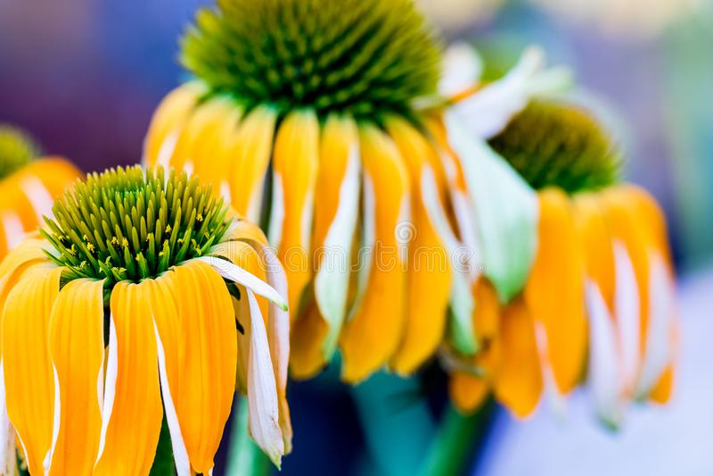 Echinacea het gele bloemen bloeien Echinacea gebruikte in alternatieve geneeskunde een immun sytem spanningsverhoger royalty-vrije stock foto's