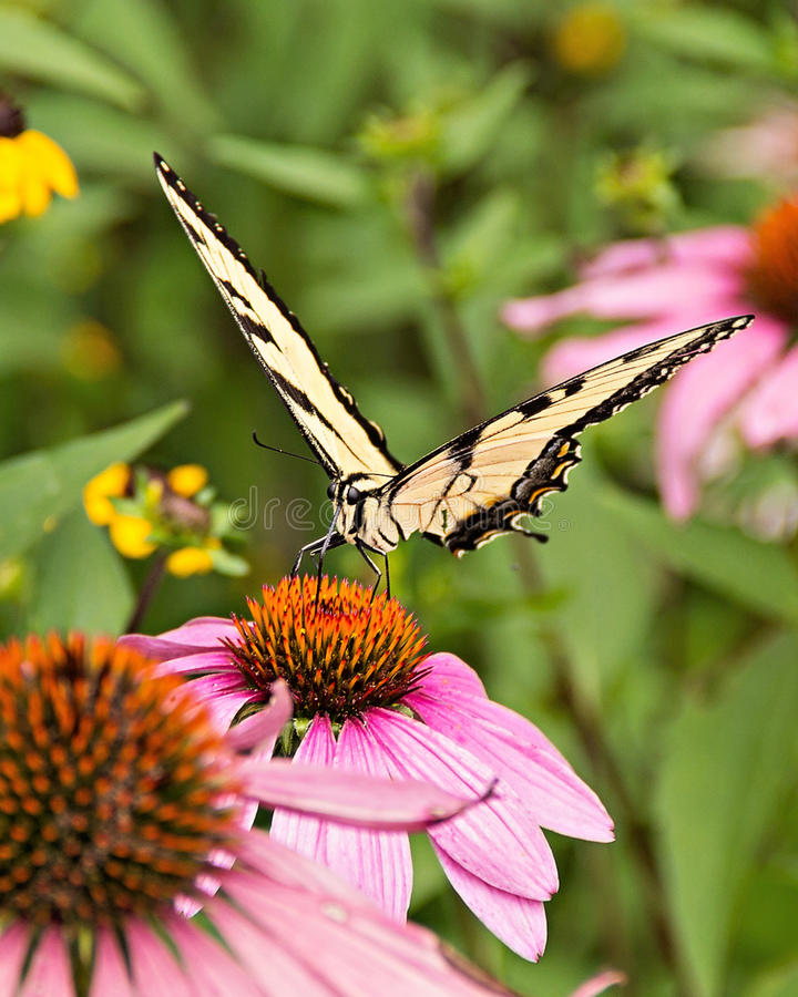 Echinacea jaune du papillon un de machaon photographie stock