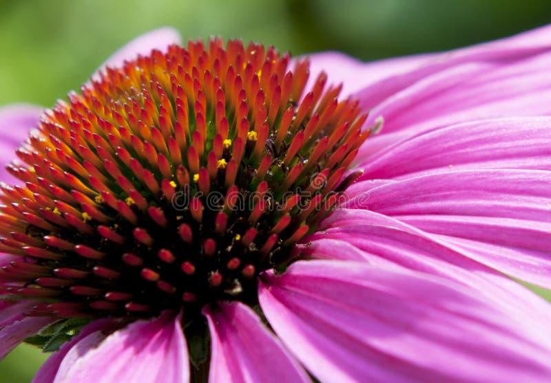 Echinacea kwiat obrazy stock