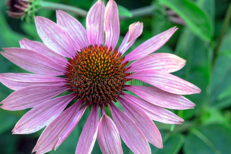 Echinacea kwiat zdjęcie stock