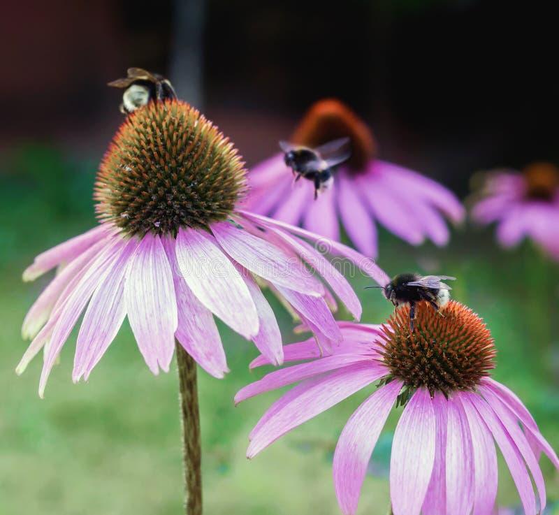 Echinacea kwiatu ` s kwitnie z pszczołami zdjęcia royalty free