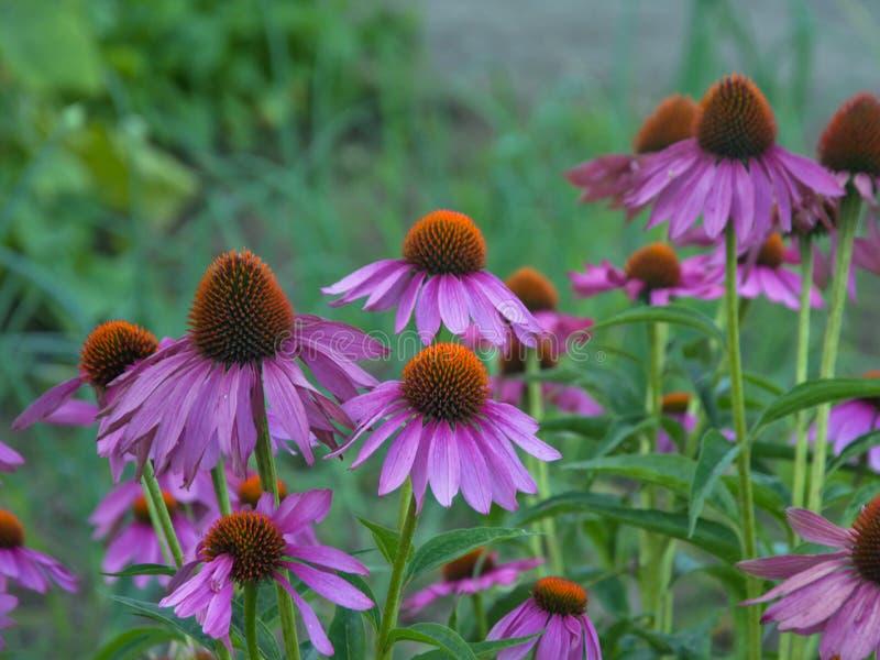 Echinacea kwiaty zdjęcie royalty free