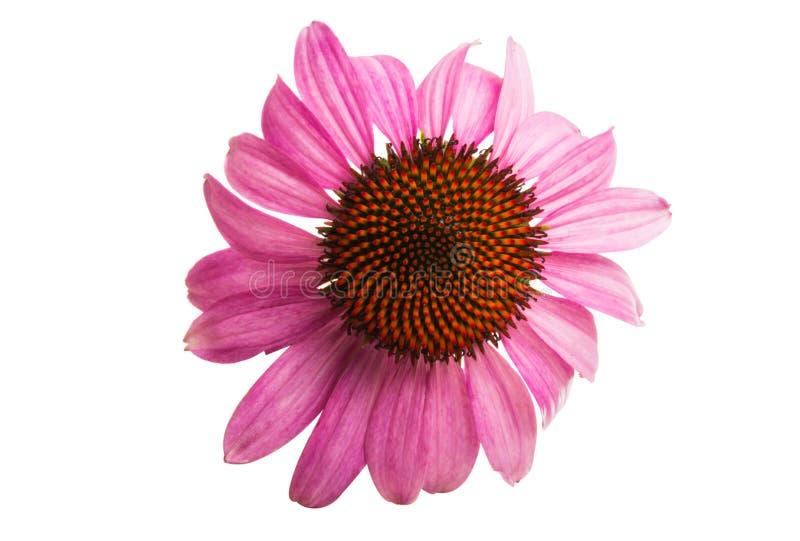Echinacea kwiaty odizolowywający obraz stock