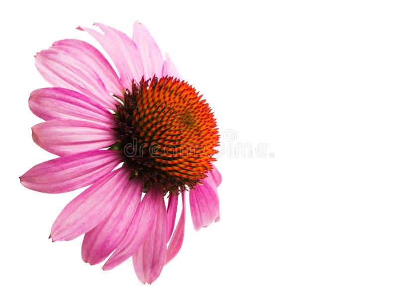 Echinacea kwiaty odizolowywający obrazy stock