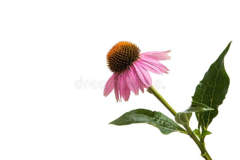 Echinacea kwiaty odizolowywający zdjęcie royalty free