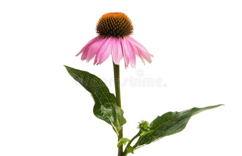 Echinacea kwiaty odizolowywający zdjęcia royalty free
