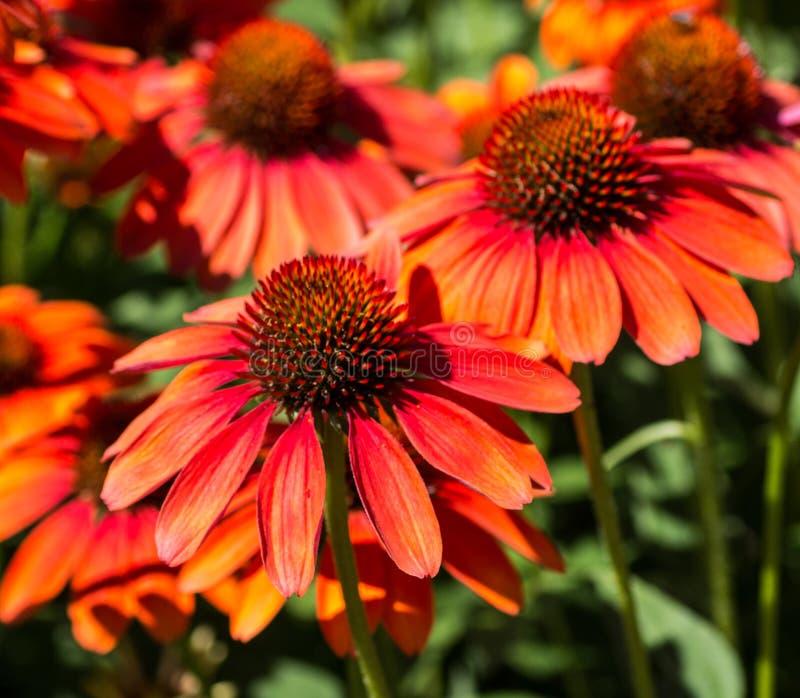 Echinacea kwitnie bouqet fotografia stock