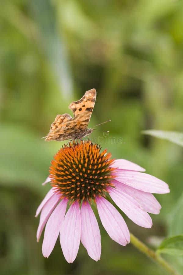 echinacea motyla fotografia stock