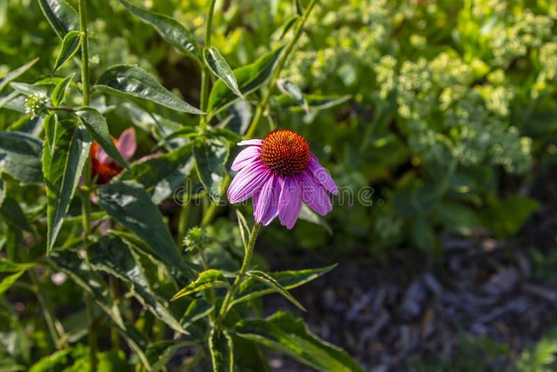 Echinacea p?rpura Purpurea de Coneflower foto de archivo libre de regalías