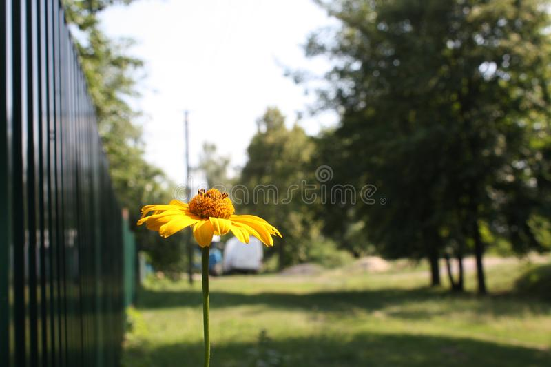 Echinacea paradoxa or yellow coneflower medicinal herb, blooming flower close up, colorful and vivid plant, natural background stock image