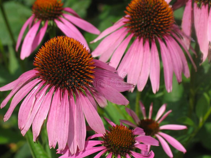 Echinacea pourpre Purpurea de Coneflower photographie stock