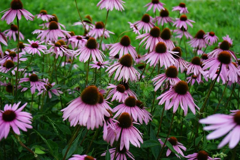 Echinacea purple flowers blooms in the summer garden.  royalty free stock image