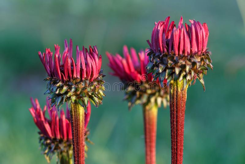 Echinacea purpurea «Śmiertelny przyciąganie «r w kwiat granicie obraz royalty free