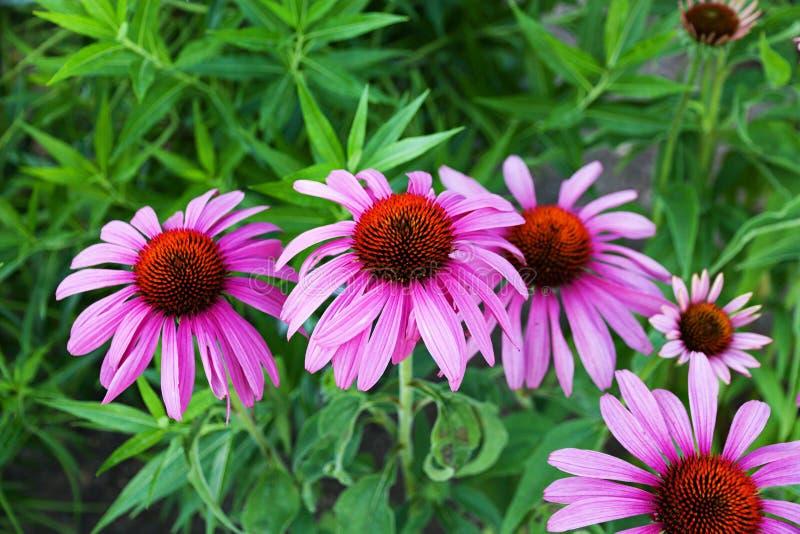 Echinacea Purpurea images stock