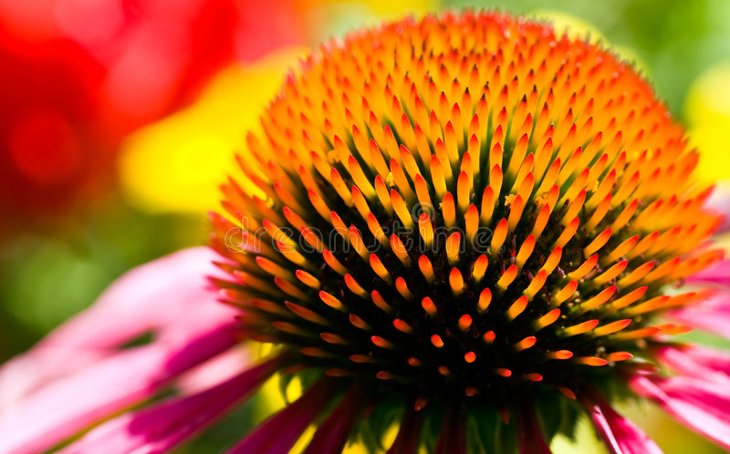 Echinacea purpurea. Closeup of flower Echinacea purpurea royalty free stock photos