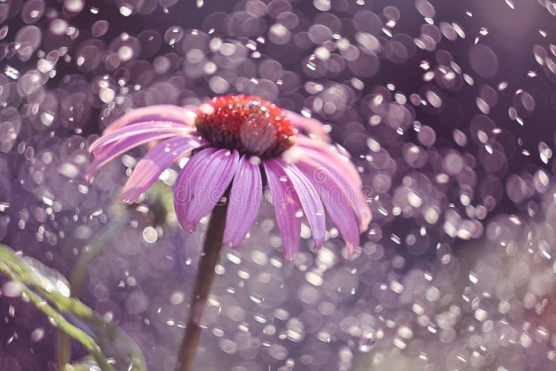 Echinacea Purpurea stockfoto