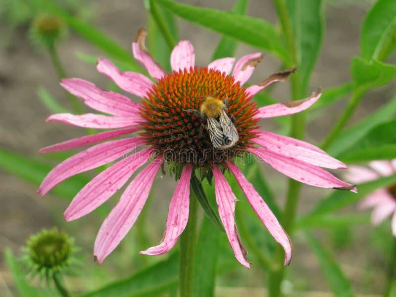 Echinacea Purpurea foto de archivo libre de regalías