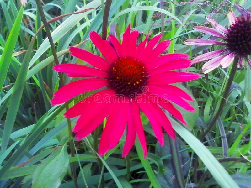 Echinacea purpurea a beautiful medicinal plant .. royalty free stock photography