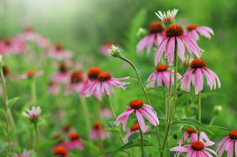Echinacea purpurea. Beautiful pink Echinacea purpurea blossoming in a garden, close up royalty free stock image