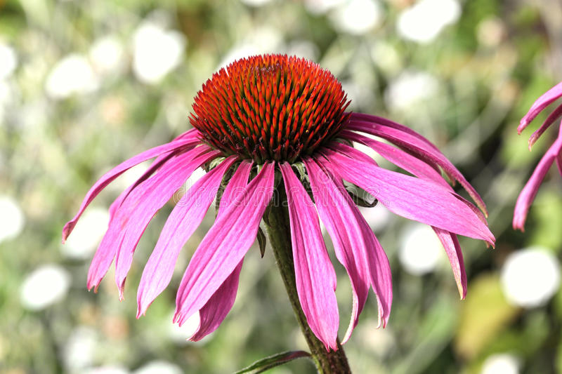 Echinacea Purpurea Coneflower photographie stock