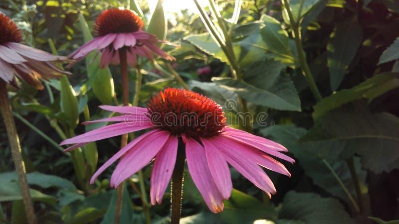 Echinacea Purpurea ( Coneflower) púrpura; Floración en jardín en luz brillante de la puesta del sol fotos de archivo libres de regalías