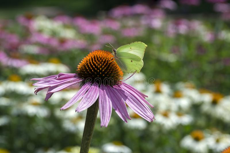 Echinacea purpurea, eastern purple coneflower in bloom with light yellow butterfly stock photography