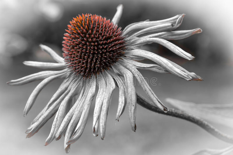 Echinacea purpurea flower fading royalty free stock photo