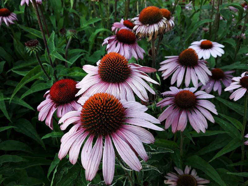 Echinacea Purpurea flowers in the garden. stock photo
