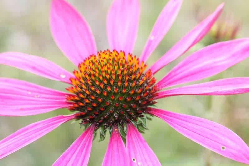 Echinacea purpurea, light pink healing herb.  stock photography