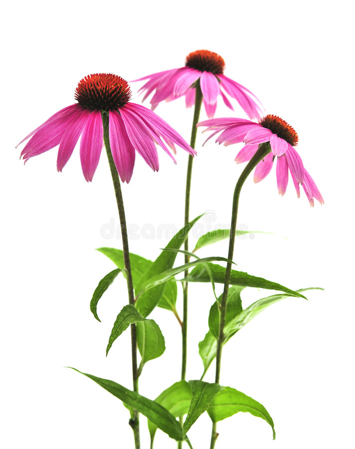 Echinacea purpurea plant. Blooming medicinal herb echinacea purpurea or coneflower isolated on white background royalty free stock images