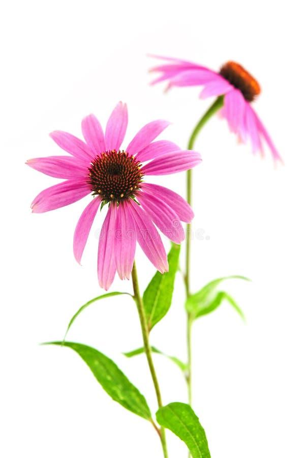 Echinacea purpurea plant. Blooming medicinal herb echinacea purpurea or coneflower isolated on white background stock image