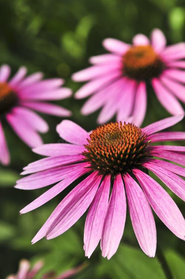 Echinacea purpurea plant. Blooming medicinal herb echinacea purpurea or coneflower royalty free stock photos
