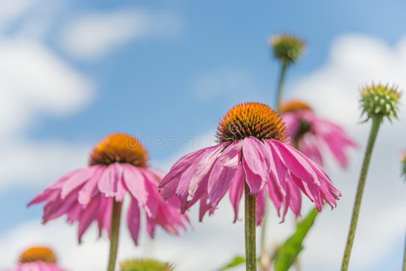 Echinacea purpurea przeciw niebieskiemu niebu fotografia royalty free