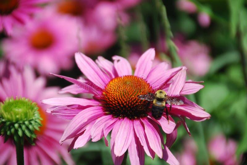 Echinacea Purpurea pszczoła i kwiat fotografia royalty free