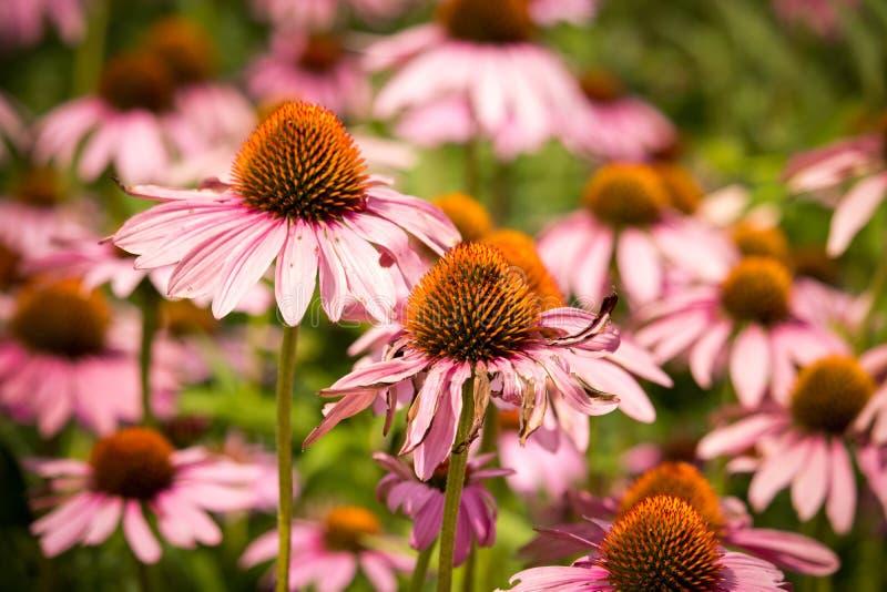 Echinacea purpurfärgad kotteblomma royaltyfria bilder
