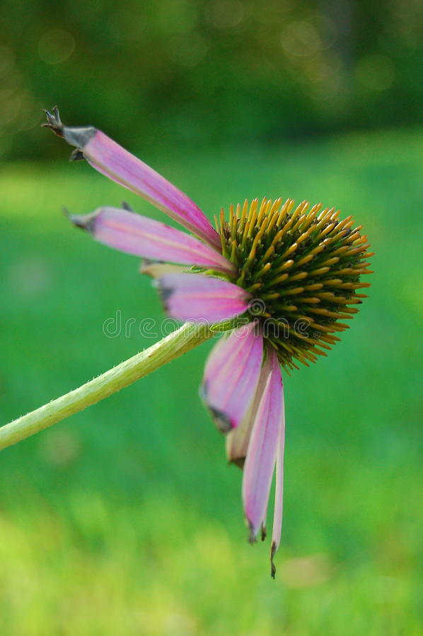 Echinacea purpury Sideview zdjęcie stock