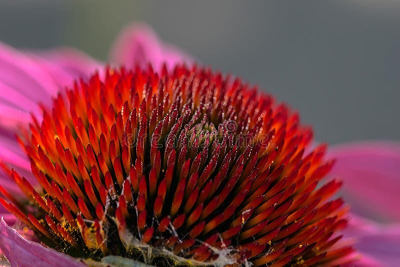 Echinacea rożek obraz stock