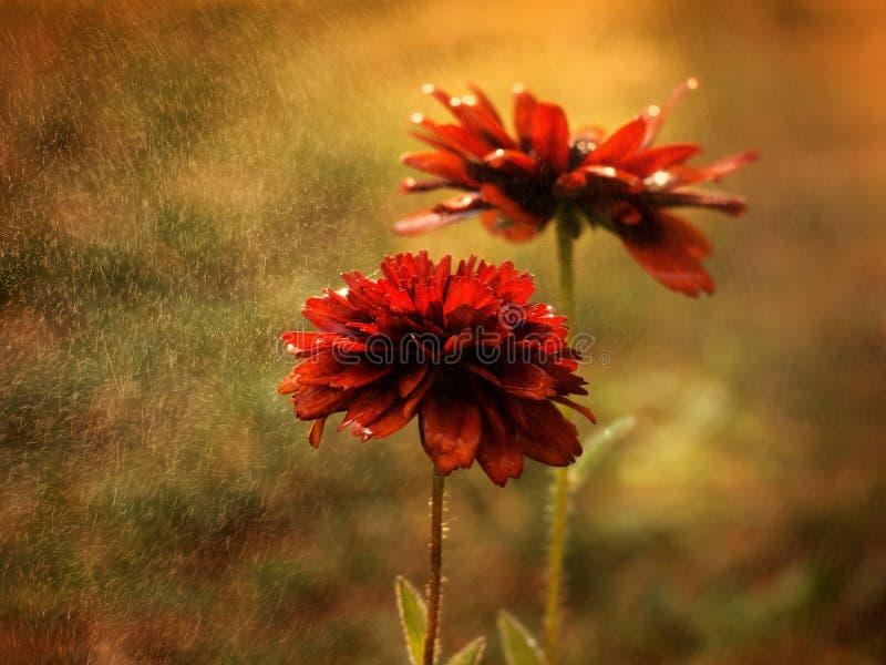 Echinacea rouge images libres de droits
