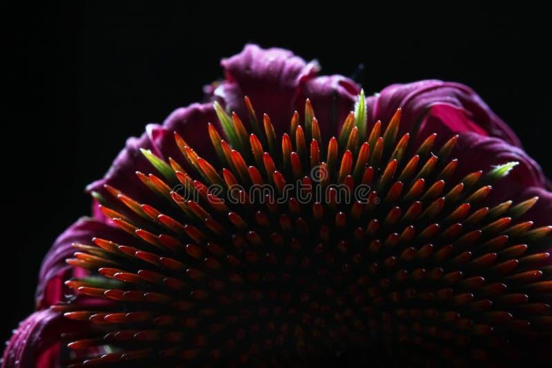 Echinacea szyszkowy kwiat obrazy stock