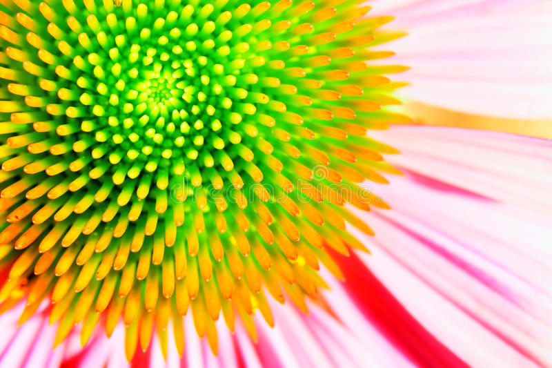 Echinacea van het neon of purpere coneflower stock afbeelding
