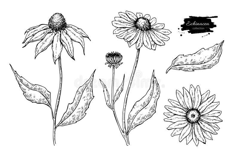 Echinacea wektoru rysunek Odosobniony purpurea kwiat, liście i Ziołowa grawerująca stylowa ilustracja ilustracji