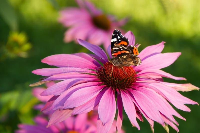 Echinacea z motylem zdjęcia stock