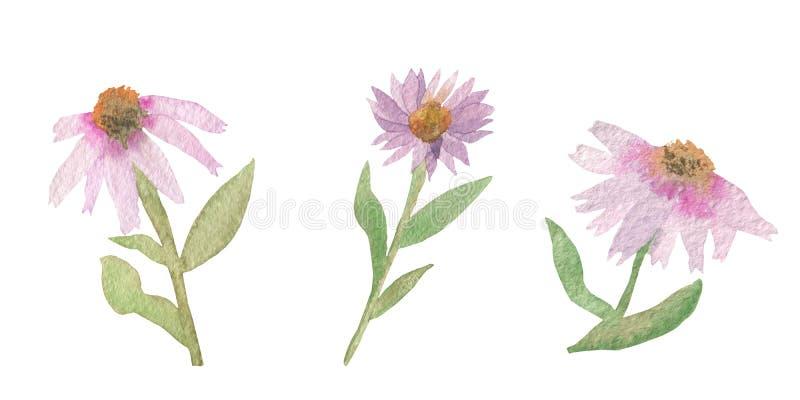 Echinaceaangustifolia och purpurfärgat vattenfärgbaner för lavendel av rosa Echinaceablommor som isoleras på vit bakgrund royaltyfri illustrationer