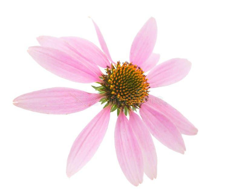 Echinaceabloem stock afbeeldingen