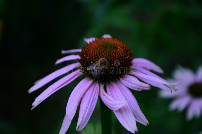 Echinaceabloem tegen zachte kleurrijke bokehachtergrond stock afbeeldingen