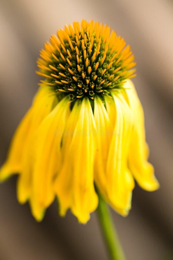 Echinaceaguling blommar att blomma Echinaceaen använde i alternativ medicin en immunsytemhjälpmotor royaltyfria bilder
